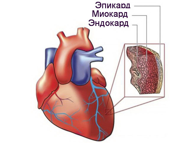 Слои стенок сердца