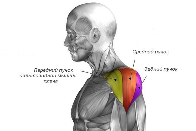 Мышечные пучки дельтовидной мышцы