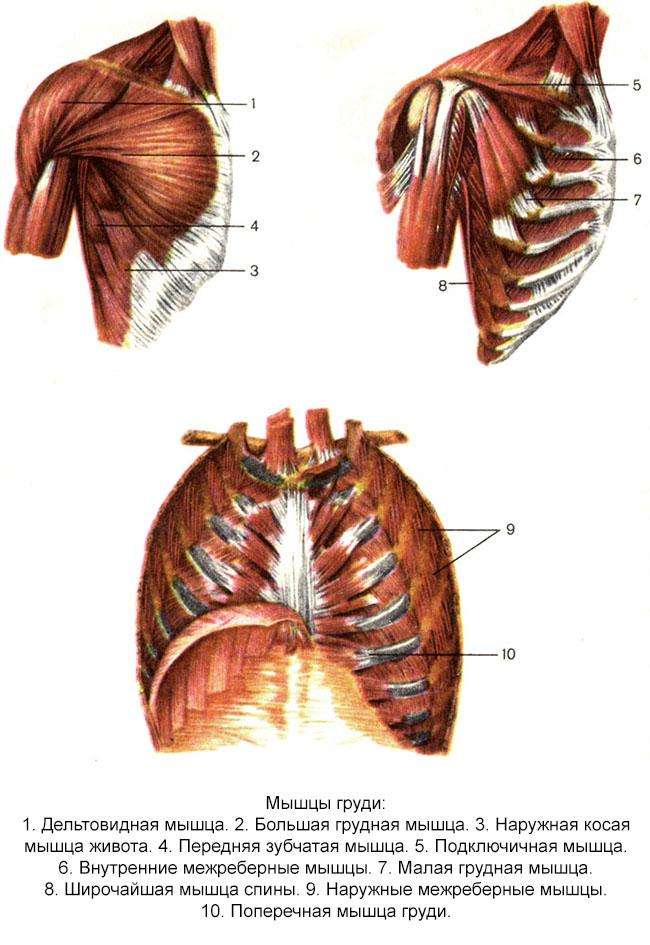 Анатомия грудной мышечной группы